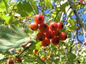 лекарственное растение боярышник