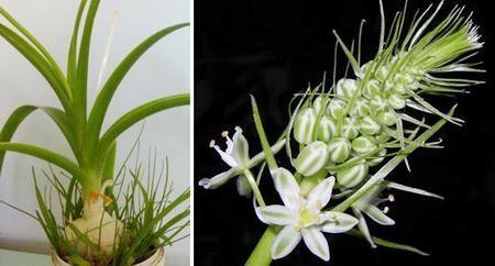 Растение также известно, как Адский корень