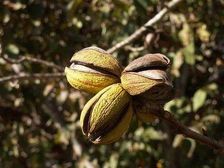 Как растет орех