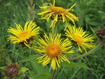 Девясил: лечебные свойства и противопоказания природного медика