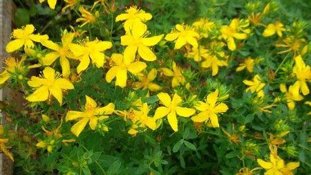Зверобой – полезные свойства и противопоказания растения