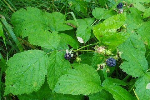 Листья ежевики лечебные свойства и противопоказания