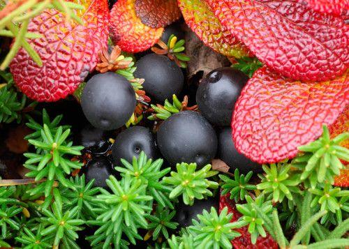 Ягоды и листья шикши