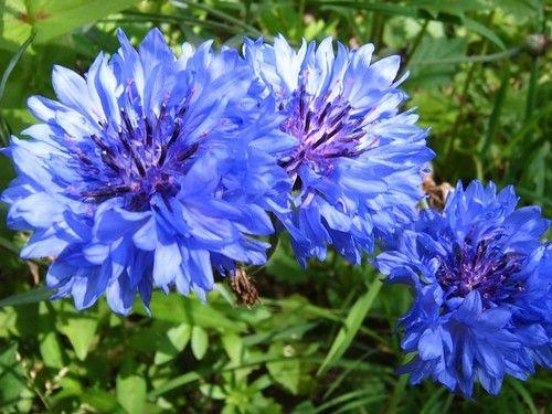 Цветы василька-лечебные свойства