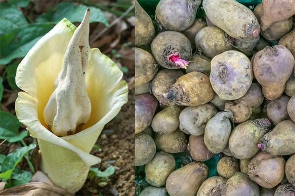 Растение конжак, цветок и клубни