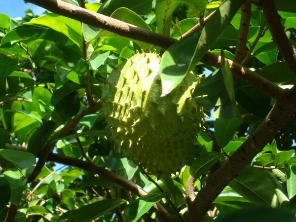 Плод саусепа