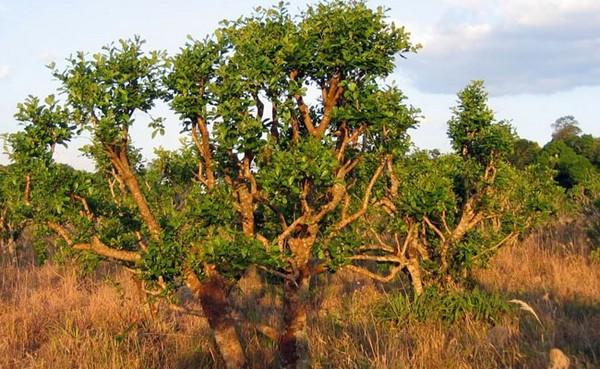 Любовное дерево