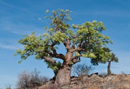 Дерево моринга