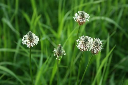 Цветы арженика
