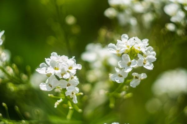 Цветы хрена
