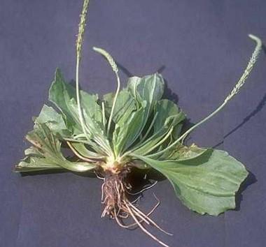 Так выглядит растение и его корень