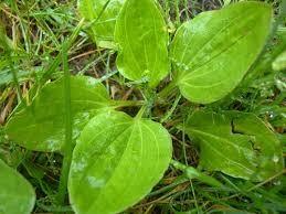 Корень заготавливают вместе с листьями