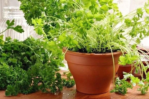 Выращиваем кинзу в домашних условиях 507