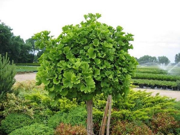 Дерево Гинкго