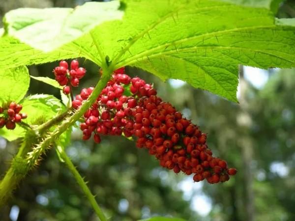 Эхинопанакс, листья и плоды