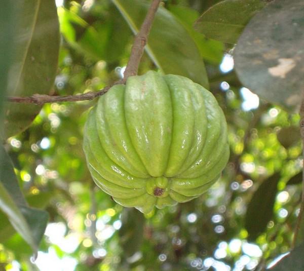 Плод Гарцинии камбоджийской