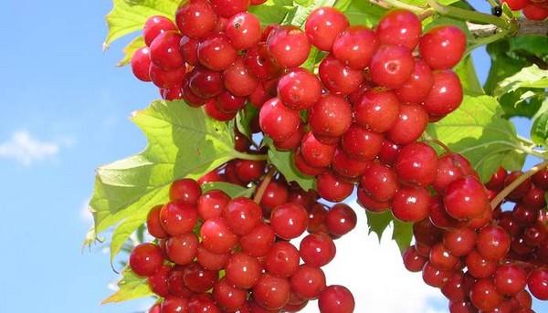 Плоды красной бузины