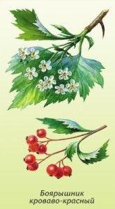 цветки и плоды боярышника