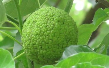 Адамово яблоко рецепт настойки для суставов рецепт купить как кормить больных после операции на суставах