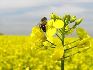пчела на рапсовом цветке