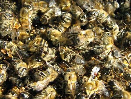 Погибшие пчелы