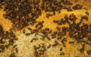 Польза и вред пчелиного подмора