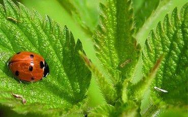 Лечебные свойства и противопоказания крапивы