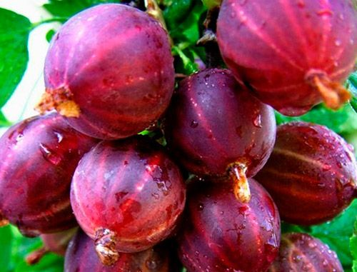 Крупные ягоды крыжовника