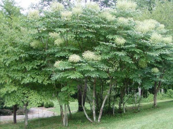 """Растение называют """"чертово дерево"""""""