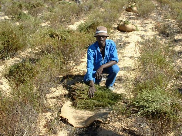 Житель Африки на сборе сырья