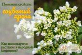 Цветы хрена в народной медицине