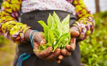 Натуральный чай из Шри-Ланки