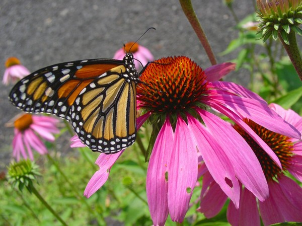 Бабочка на цветке эхинацеи