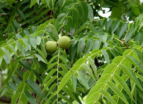 Листья растения