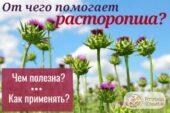 Уникальное целебное растение – расторопша пятнистая