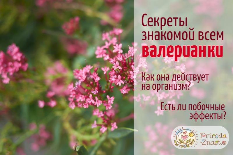 Валериана лекарственная – растение, обладающее массой полезных свойств
