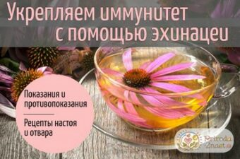 Эхинацея пурпурная для иммунитета